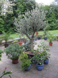 Unser Olivenbaum