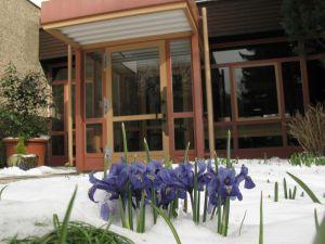 Frühlingserwachen mit Iris