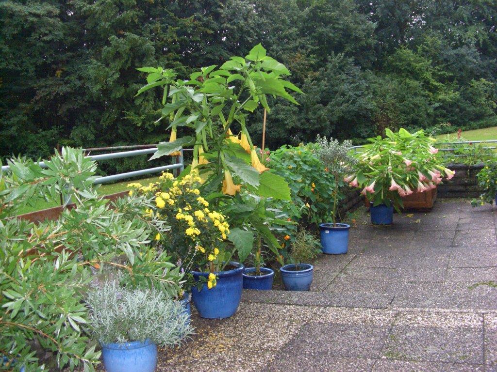 Kübelpflanzen auf der Terrasse mit Engelstrompeten